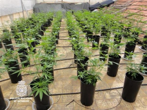 Intervenidas 600 plantas de marihuana en un invernadero Plantas de invernadero