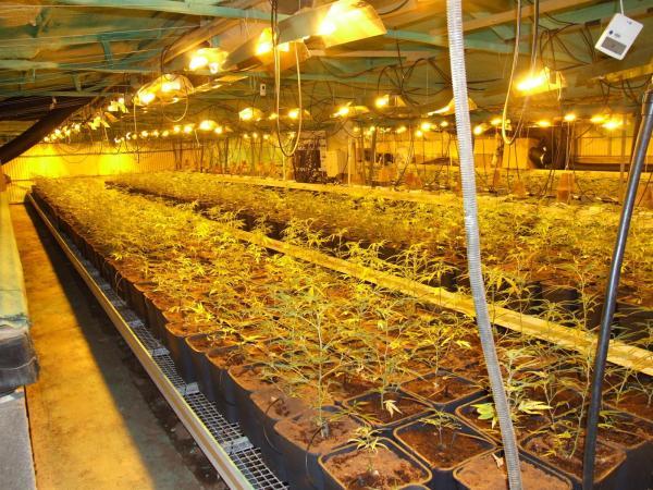 Desmanteladas dos plantaciones de marihuana en bellvei tarragona con - Plantaciones de marihuana interior ...