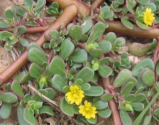 Plantas medicinales verdolaga descripcion y usos for Plantas de interior lengua de gato
