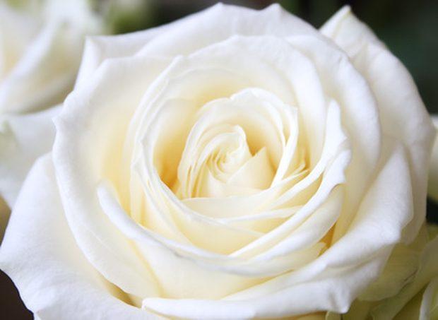 El significado de so ar con rosas blancas - Significado rosas blancas ...